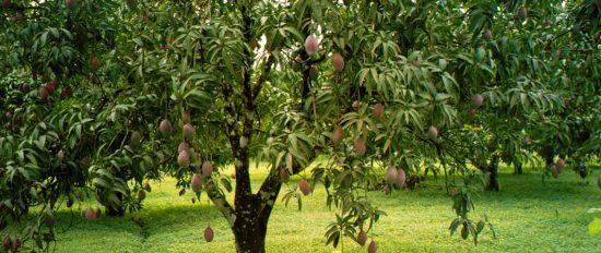 Плодоносящее дерево манго