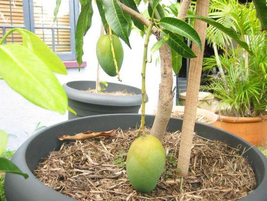 Плодоносящее манго в домашних условиях