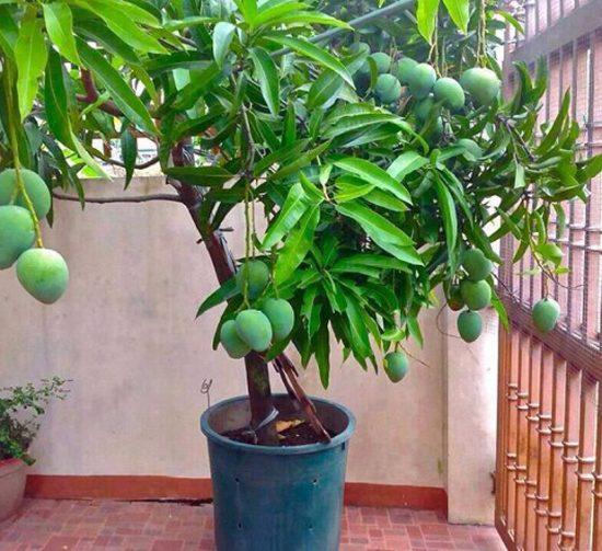Урожай манго в домашних условиях
