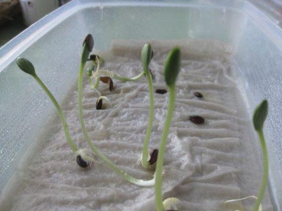 Проращивание семян арбуза