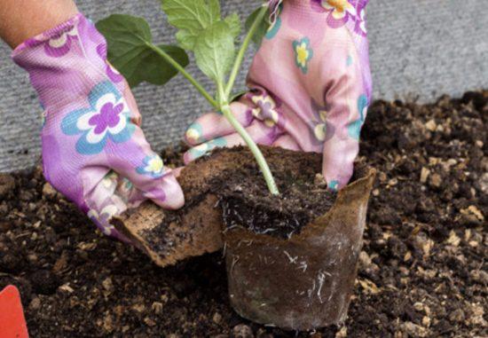 Высадка рассады арбуза в грунт