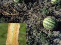 Корневая гниль арбуза
