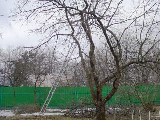 Удаление сухих и поломанных ветвей яблони
