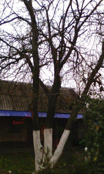 Дерево с растущими внутрь ветками