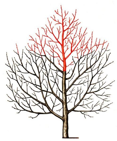 Схема снижения кроны яблони