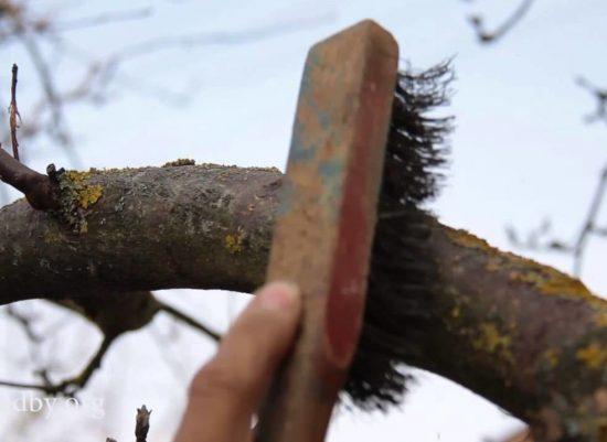 Счищение старой коры яблони