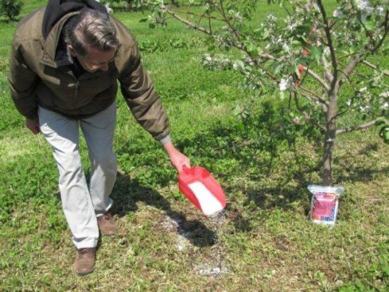 Обработка яблонь азотными удобрениями