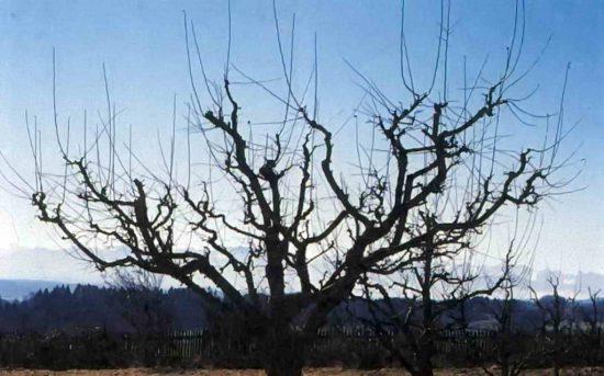 Формирование кроны яблони из молодой древесины
