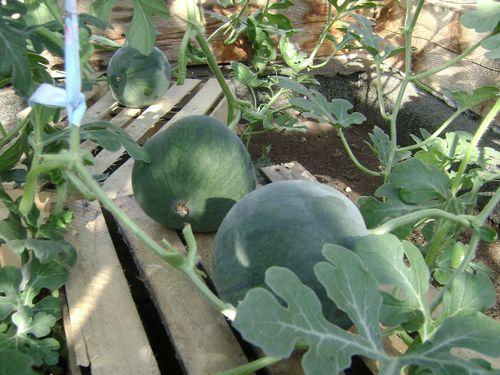 Подкладывание досок под плоды арбуза