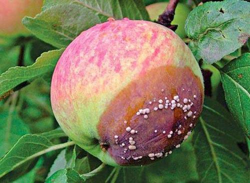 Плодовая гниль на яблоке
