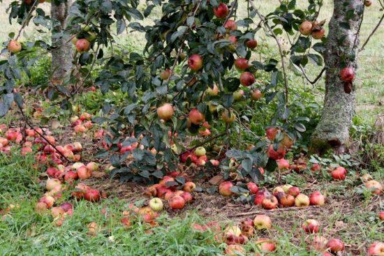 Падалица яблок