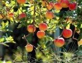Яблони для Черноземья