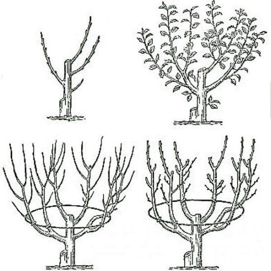 Схема обрезки нектарина