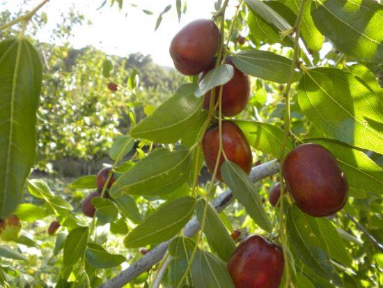Созревшие плоды унаби