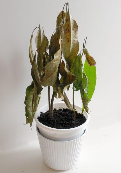 Засыхание листьев манго
