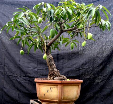 Бонсай из манго