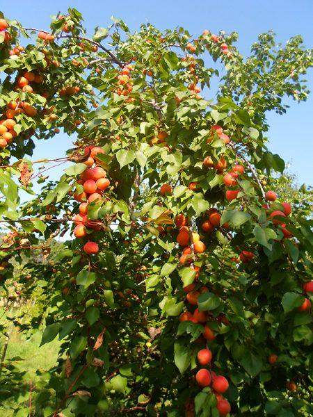 абрикос сорта Серафим