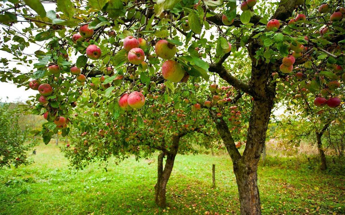 Как размножить яблоню черенками