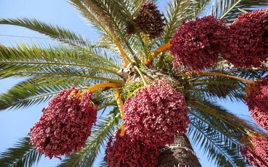 Финиковая пальма с урожаем плодов
