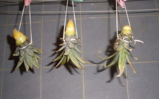 Просушивание верхушки ананаса