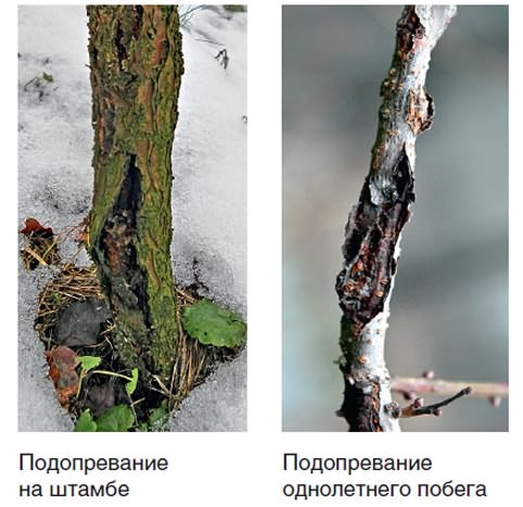 Подопревание деревьев