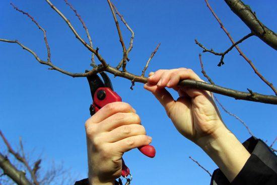 Заготовка черенков абрикоса