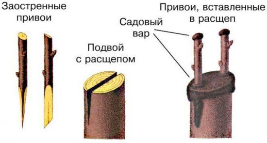 Прививка абрикоса в расщеп