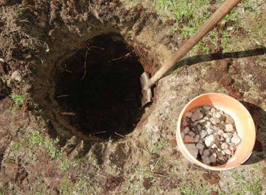 Подготовка посадочной ямы для саженца абрикоса