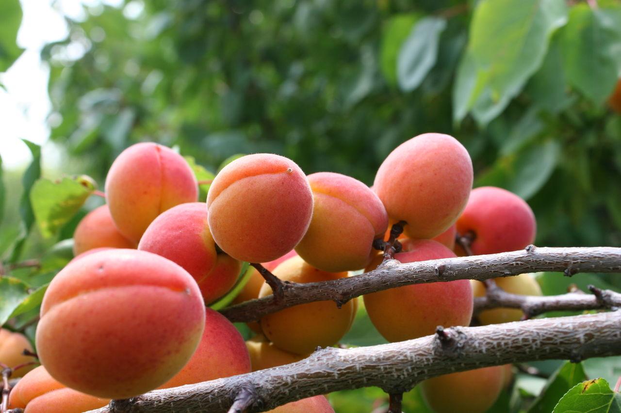 Абрикос Сын Краснощёкого: описание сорта и рекомендации по выращиванию
