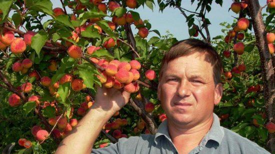 Урожай абрикоса сорта Сын Краснощёкого