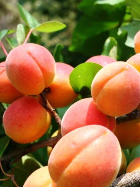 Плоды абрикоса Сын Краснощёкого