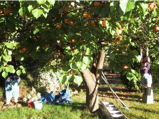 Подходящее место для абрикоса