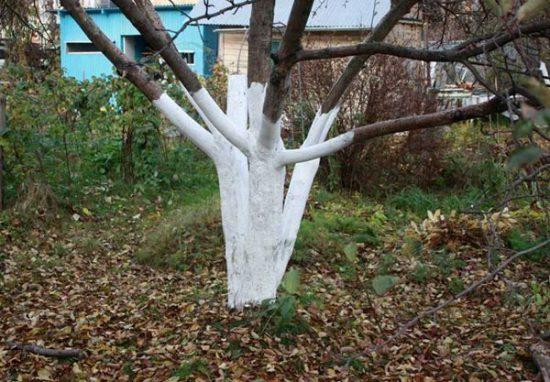Побелка абрикосового дерева
