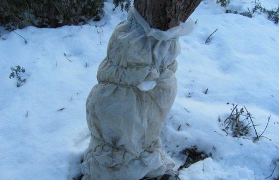 Укрытие абрикоса на зиму