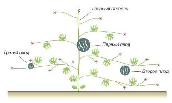 Формирование арбуза в три стебля