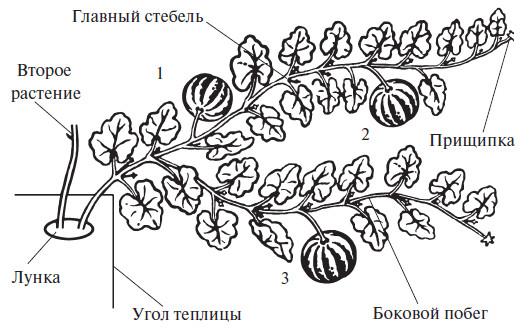 Формирование арбузов в два ствола