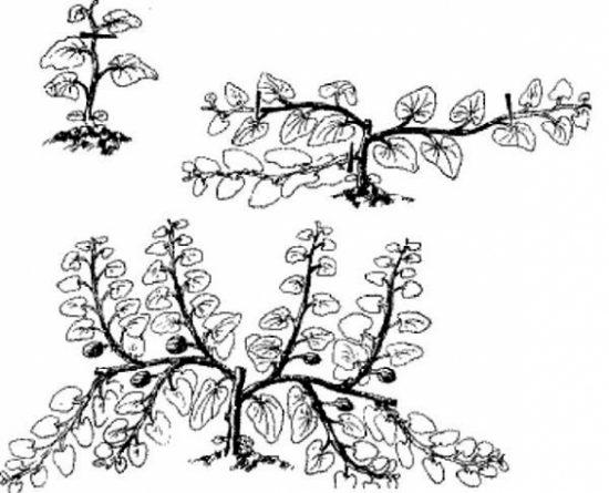 Схема формирования урожая на побегах третьего порядка