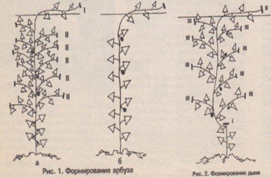 Способы формирования арбузов