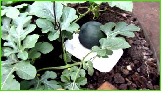 Растущая завязь арбузов