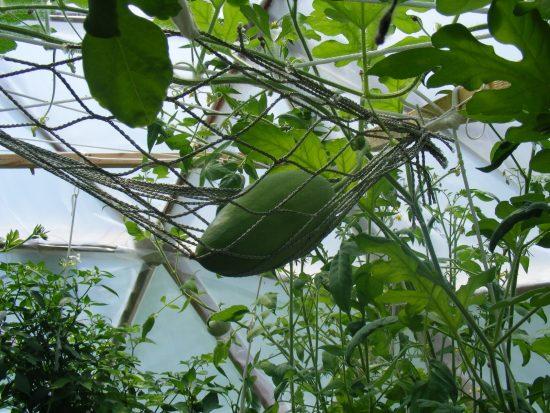 Подвязывание арбуза в закрытом грунте