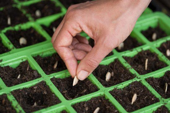 Высадка семян тыквы на рассаду