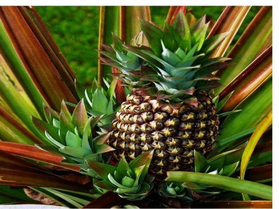 Побеги ананаса
