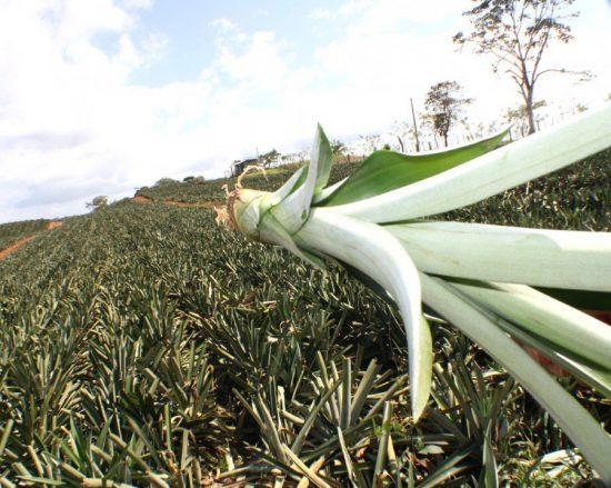 Побег ананаса на плантации