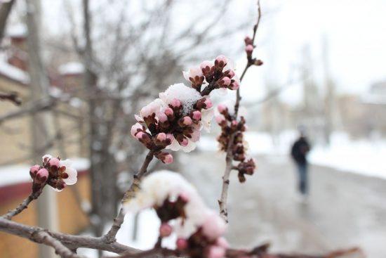 Раннее цветение абрикоса