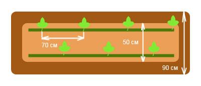 Двухстрочная схема посадки арбузов