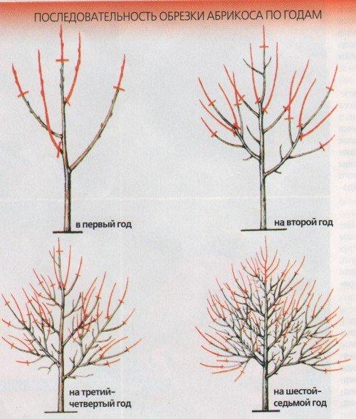 Этапы обрезки кроны абрикоса