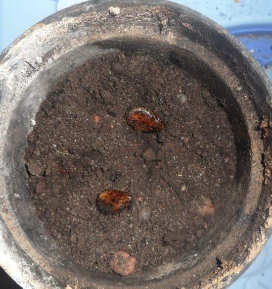 Посадка семян арбуза