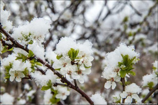 Снег на абрикосе