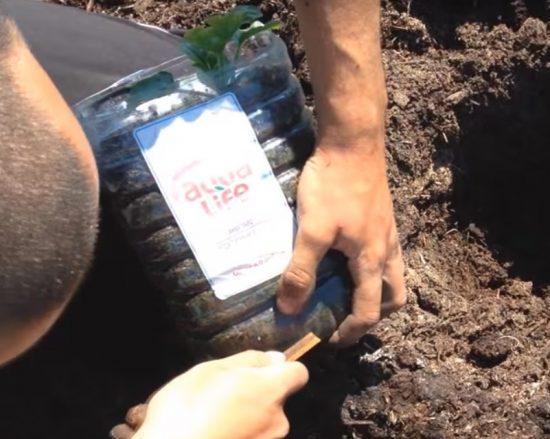 Пластиковая ёмкость с рассадой арбузов