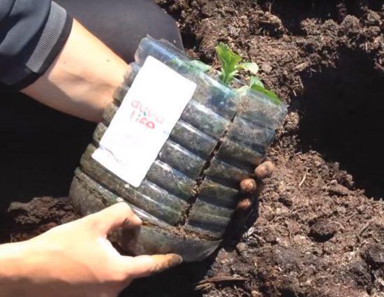 Разрезанная ёмкость с рассадой арбуза